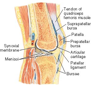 Elbow Joint Synovial Membrane | RM.